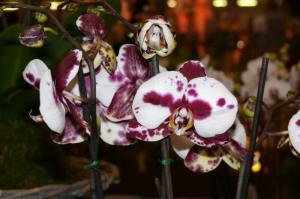 Drážďany - výstava orchidei