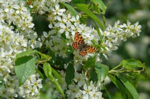 Loučí se s náma motýl na třešni